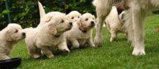 Een puppycursus ten goede van uw dier?